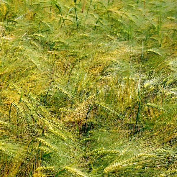 Kulaklar buğday manzara arka plan yaz alan Stok fotoğraf © alinamd