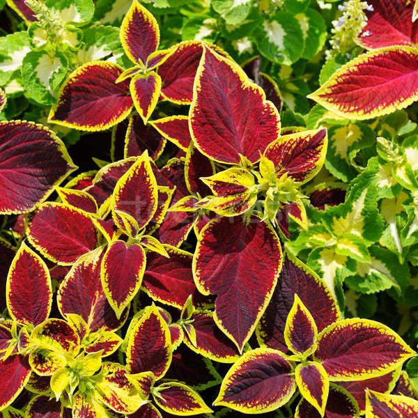 beautiful background of red geranium leaves Stock photo © alinamd