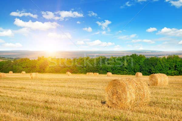 Słomy pole pszenicy Świt Błękitne niebo niebo słońce Zdjęcia stock © alinamd