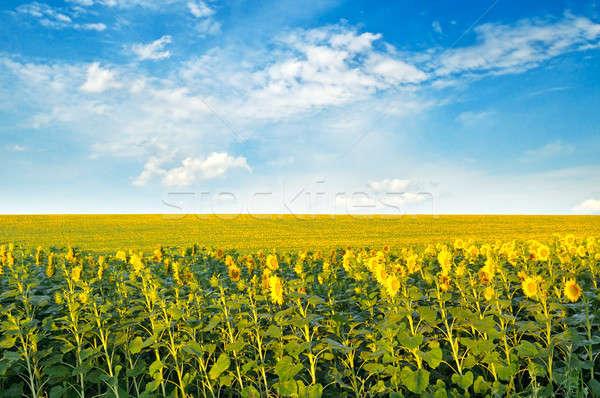 Alan ayçiçeği bulutlu gökyüzü tarım Stok fotoğraf © alinamd