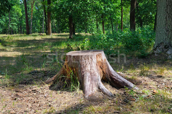 Stock photo: an old stump in the summer park