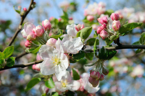 Flowers of an apple tree. Stock photo © alinamd