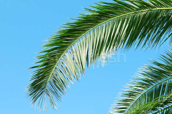 palm branch on background of blue sky Stock photo © alinamd