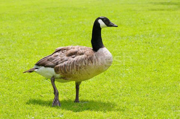 gray goose on green field Stock photo © alinamd