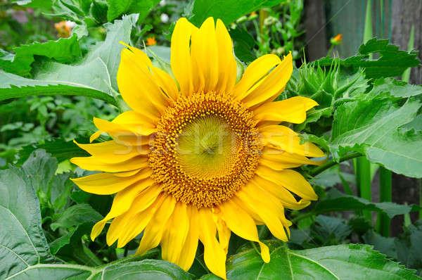 подсолнухи саду Клумба счастливым природы лист Сток-фото © alinamd