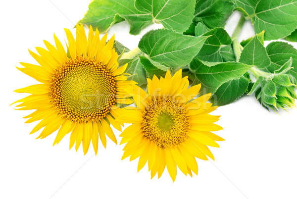 Sunflowers collection on the white background Stock photo © alinamd