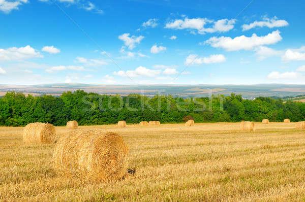 Palha campo de trigo blue sky céu grama fundo Foto stock © alinamd