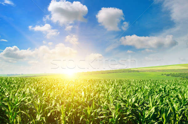 Green field with corn. Blue cloudy sky. Sunrise on the horizon. Stock photo © alinamd
