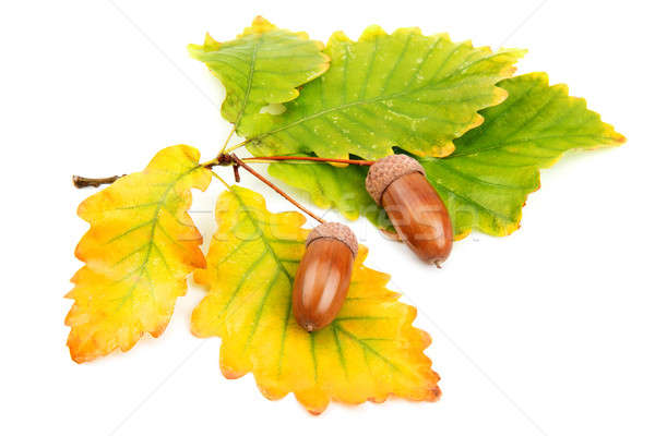дуб листьев лес фон зеленый цвета Сток-фото © alinamd