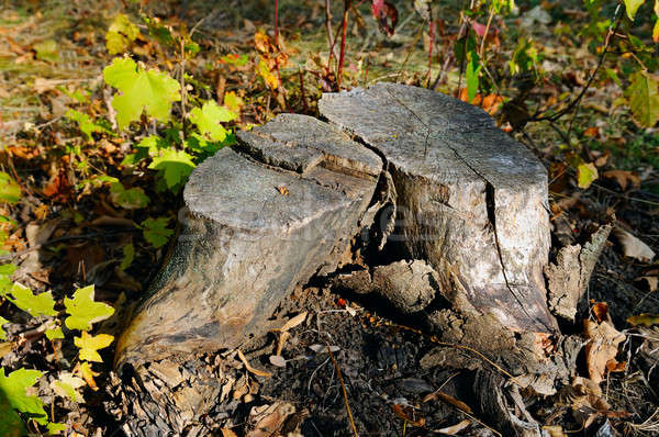 old maple tree stump in the autumn forest Stock photo © alinamd