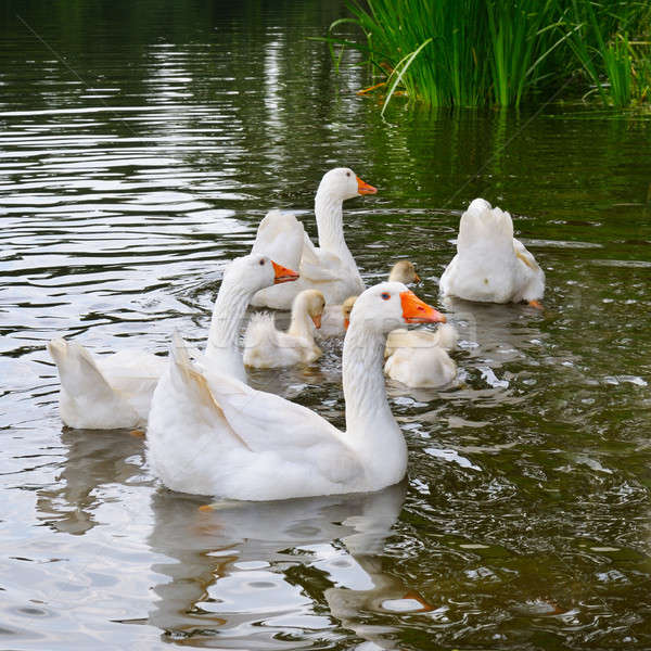 a flock of white geese floats in the lake water Stock photo © alinamd