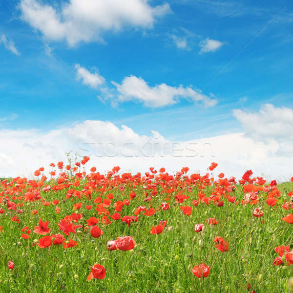 meadow with wild poppies and blue sky Stock photo © alinamd
