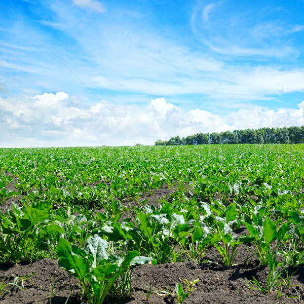 green beet field and blue sky Stock photo © alinamd