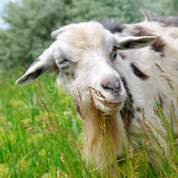 A goat is eating grass in a meadow Stock photo © alinamd