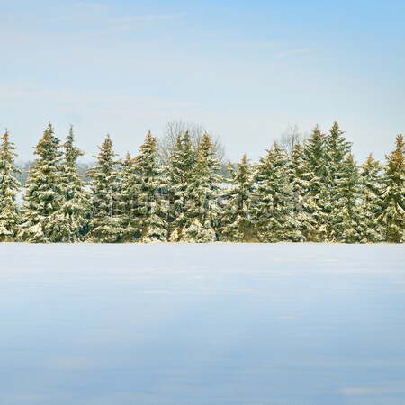 Beautiful winter landscape.Field covered with snow and spruce. Stock photo © alinamd