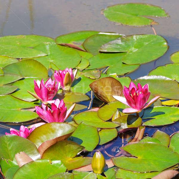 Rózsaszín virágok víz liliomok tavacska tavasz Stock fotó © alinamd