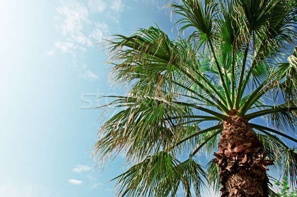 palm on background of blue sky Stock photo © alinamd