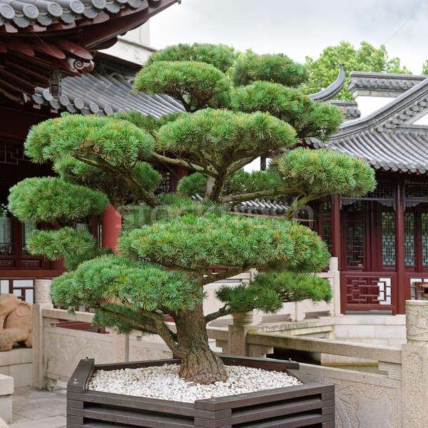 Bonsai pino pagoda parque edificio naturaleza Foto stock © alinamd