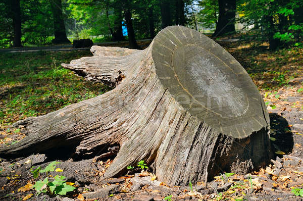 old tree stump in autumn park Stock photo © alinamd
