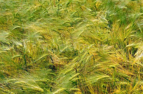 background of wheat spikes Stock photo © alinamd