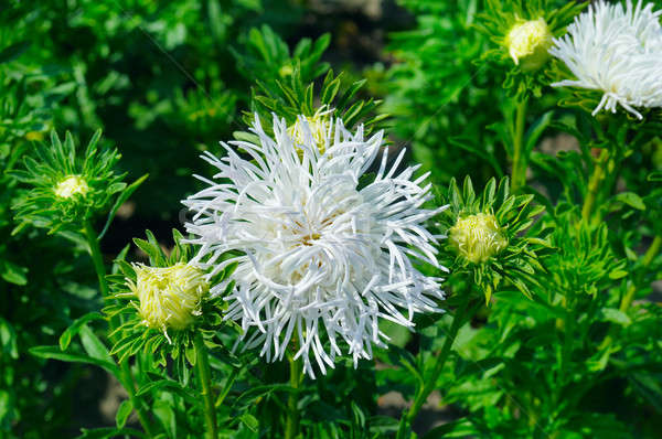 aster flowerbed in summer, focus on a white flower Stock photo © alinamd