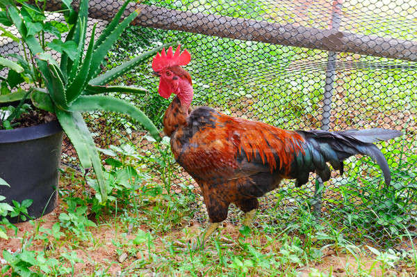 Photo stock: Maison · coq · lumineuses · plumage · jardin · printemps