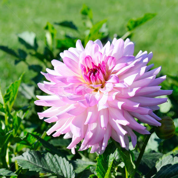 георгин Focus цветок мелкий природы лист Сток-фото © alinamd