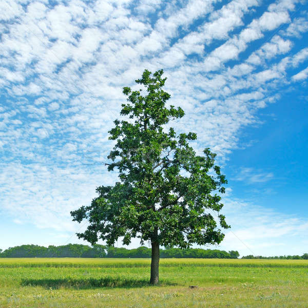 Roble verde pradera cielo luz nubes Foto stock © alinamd