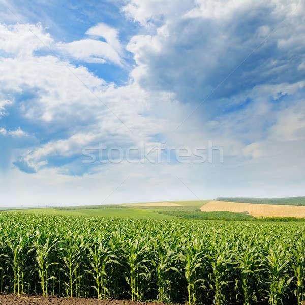Zöld kukorica mező kék ég felhők tavasz Stock fotó © alinamd