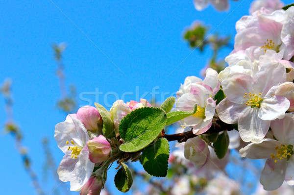 яблони Blue Sky цветы дерево весны Сток-фото © alinamd
