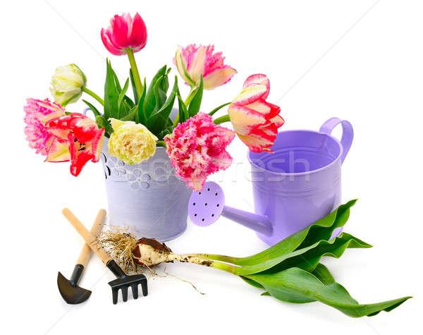 Tulipany ogród wyposażenie odizolowany biały wiosną Zdjęcia stock © alinamd