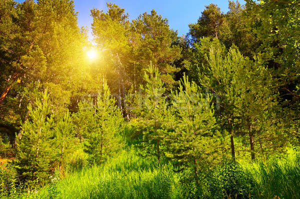 spruce forest on the hillside Stock photo © alinamd