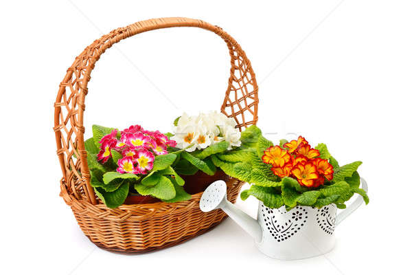 Flowering primrose in a wicker basket and a decorative watering  Stock photo © alinamd