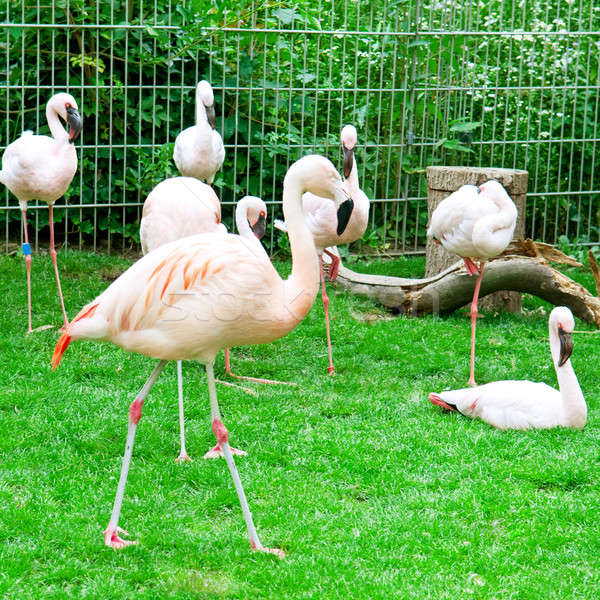 Pink flamingos at the zoological garden Stock photo © alinamd