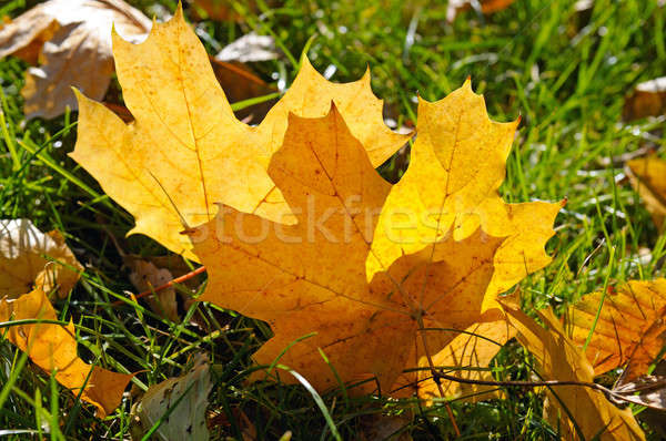 yellow maple leaves on green grass in autumn Stock photo © alinamd
