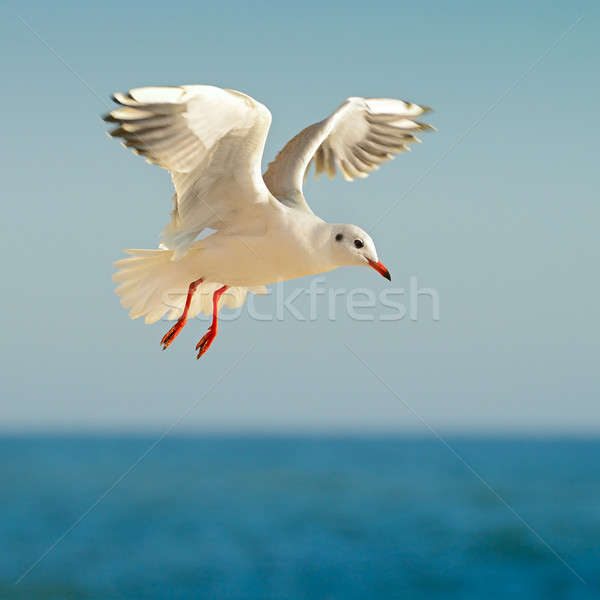 seagull in flight against the blue sky Stock photo © alinamd