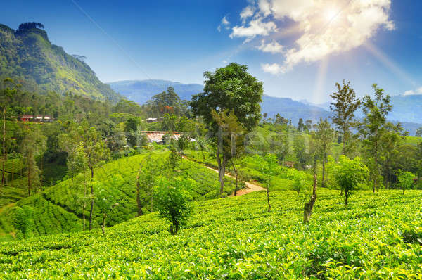 tea plantation on the picturesque hills Stock photo © alinamd