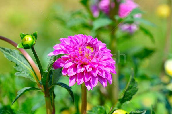 Stockfoto: Dahlia · focus · bloem · ondiep · natuur · ontwerp