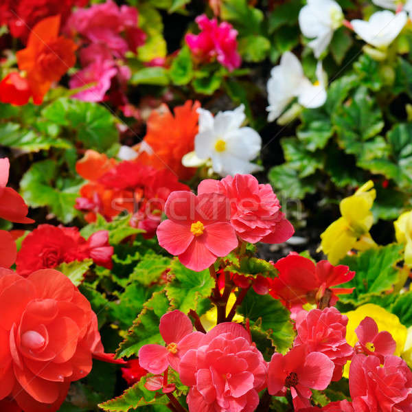 Bright background of blooming begonias. Focus on the foreground. Stock photo © alinamd