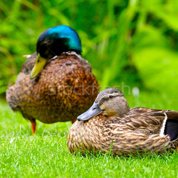 domestic duck on a background of green plants Stock photo © alinamd