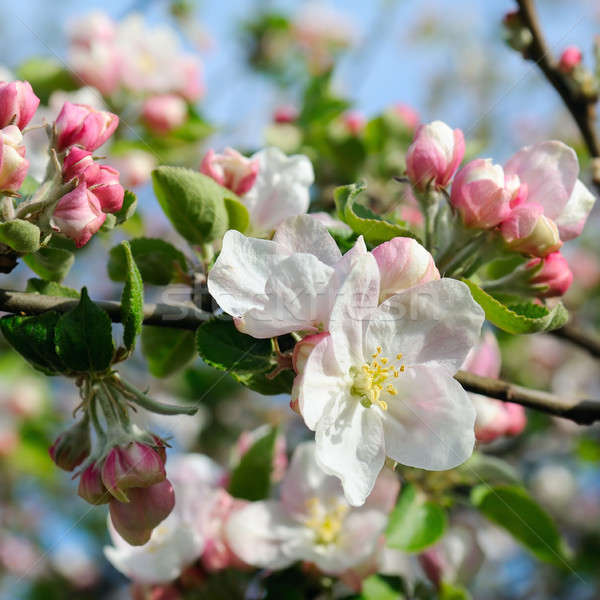 Flowers of an apple tree and sky Stock photo © alinamd