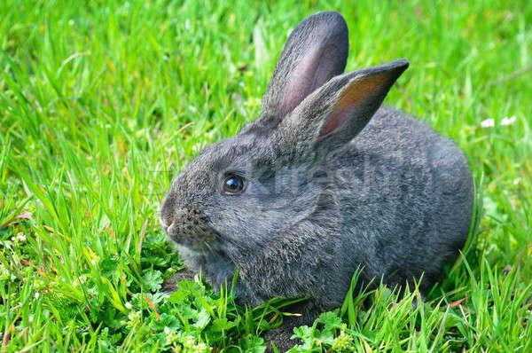 rabbit on green grass background Stock photo © alinamd