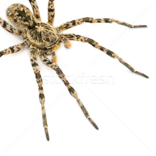 tarantulas spider isolated on white background Stock photo © alinamd
