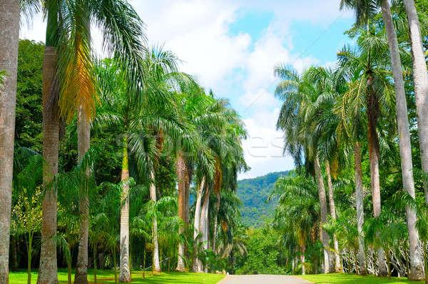 Palm steegje Blauw bewolkt hemel boom Stockfoto © alinamd