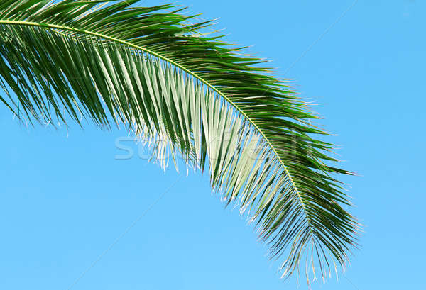palm branch on background of blue sky Stock photo © alinamd