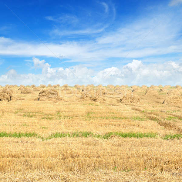 Field with Stacks of straw and blue sky Stock photo © alinamd