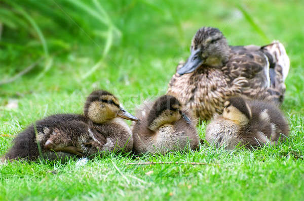 duck and little ducklings Stock photo © alinamd