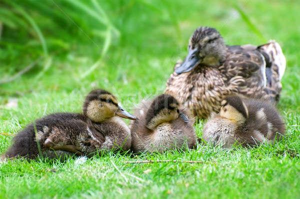 ördek küçük aile doğa vücut güzellik Stok fotoğraf © alinamd