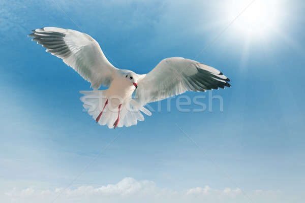 鴎 飛行 青空 水 雲 太陽 ストックフォト © alinamd