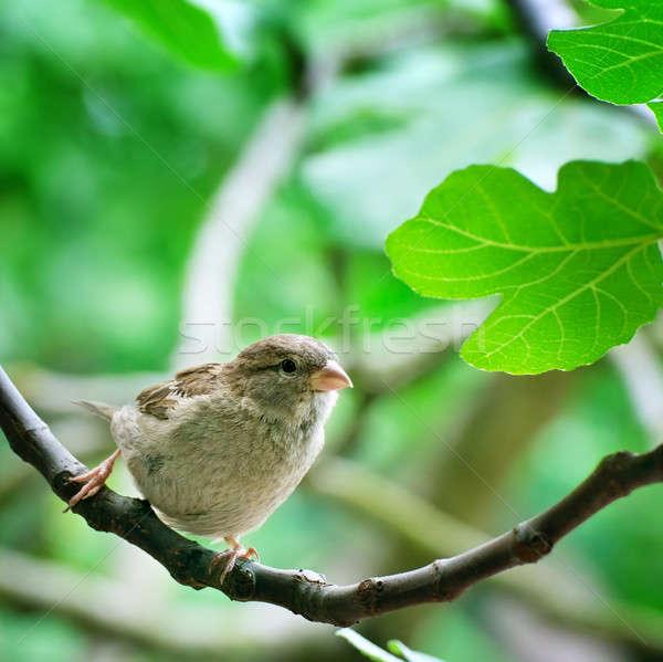 スズメ 春 自然 庭園 鳥 ストックフォト © alinamd